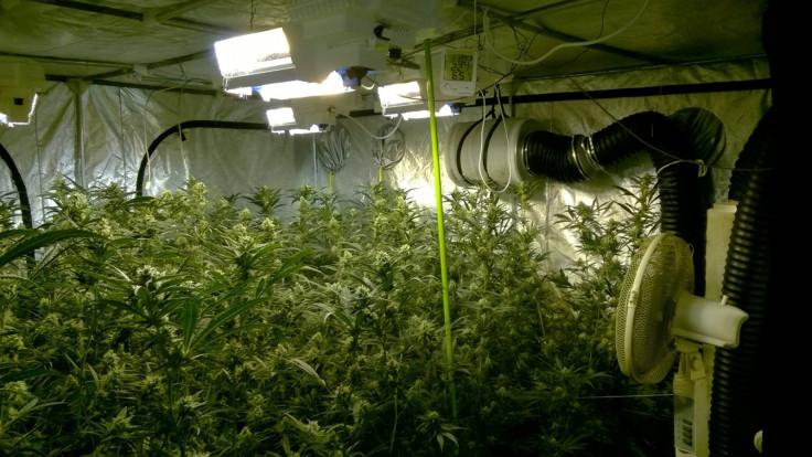cannabis factory Wisbech