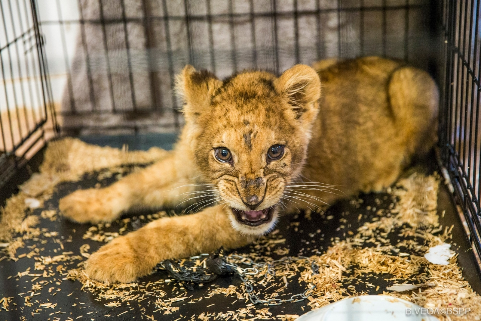 This abandoned lion cub was found in an empty Paris apartment