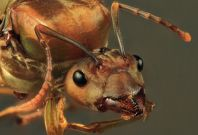 Weaver ant queen (Oecophylla smaragdina)