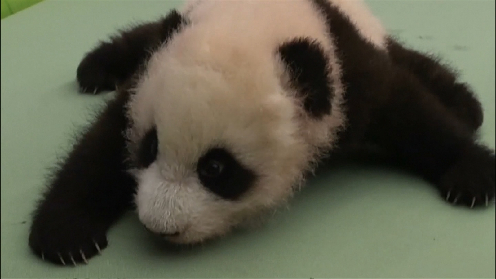 chinese-panda-breeders-act-as-surrogate-mothers-to-panda-cubs