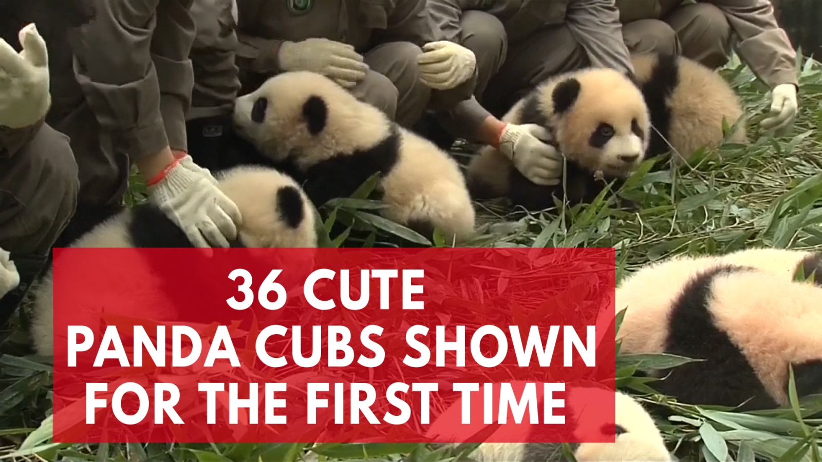 cuteness-overload-as-36-giant-panda-cubs-make-first-public-appearance