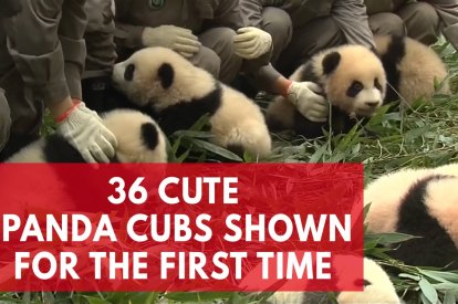 Cuteness Overload As 36 Giant Panda Cubs Make First Public Appearance