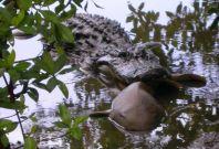 Alligator eating shark