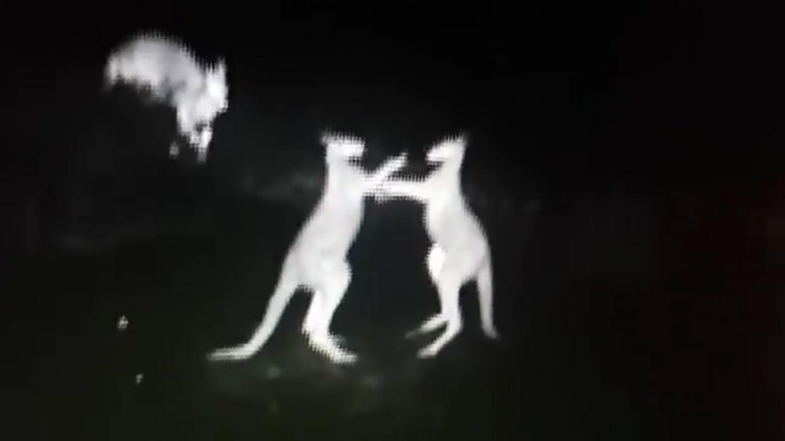 kangaroo-fight-caught-on-police-infrared-camera