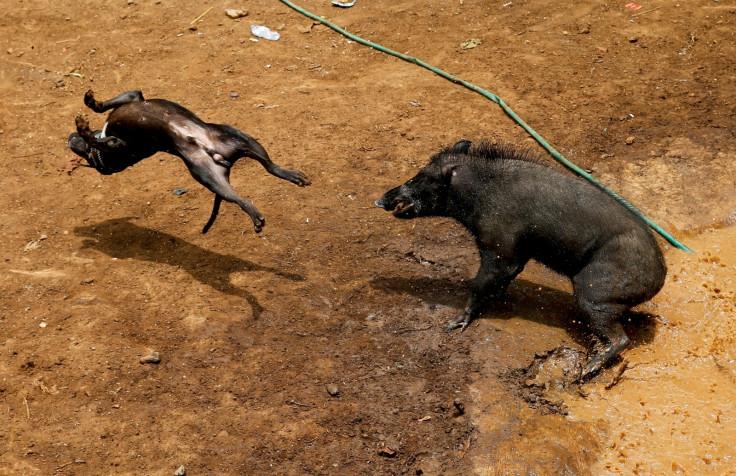 Dog Wild Boar fighting Indonesia