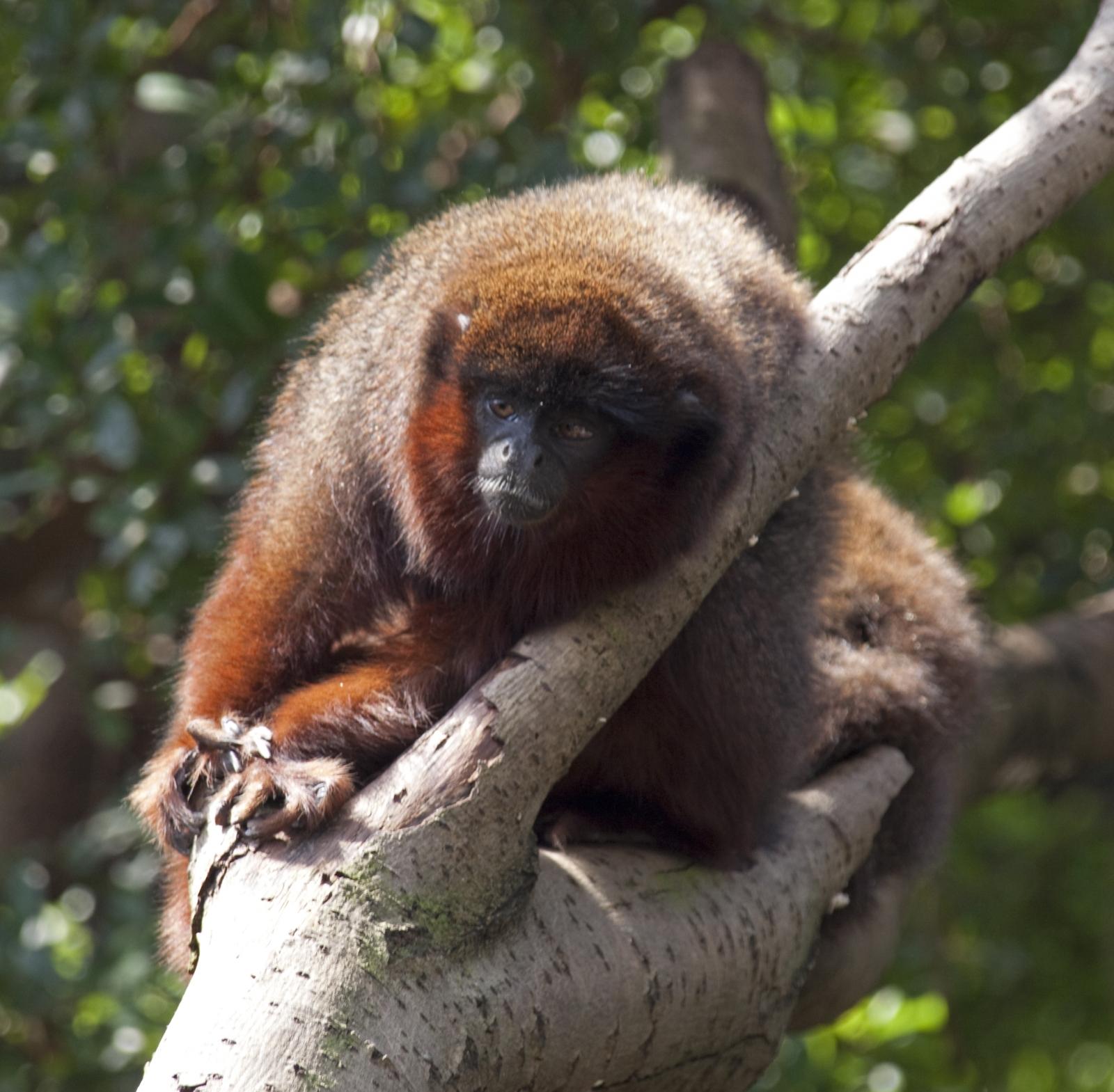 Coppery titi monkey