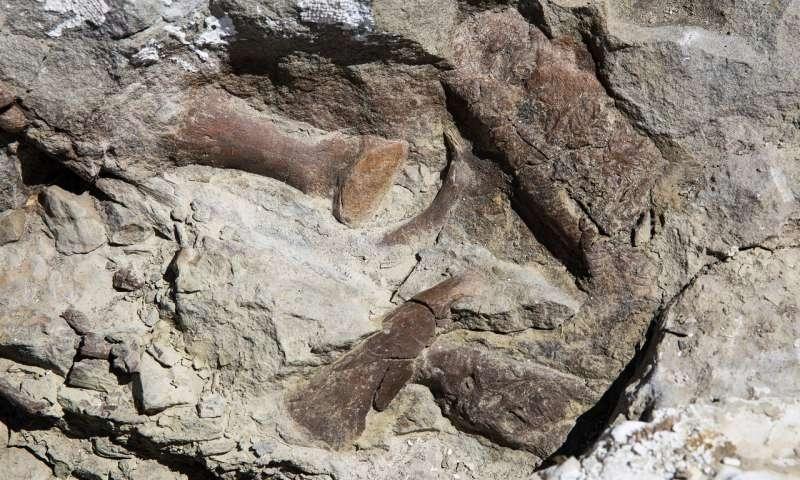 Tyrannosaur fossil