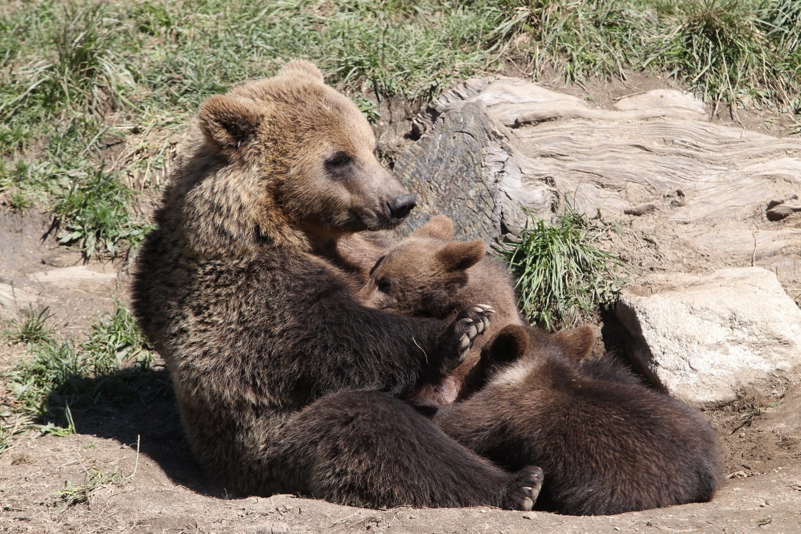 Female bear and cubs