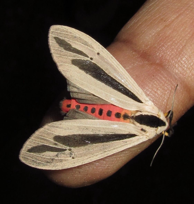 Creatonotos Gangis moth