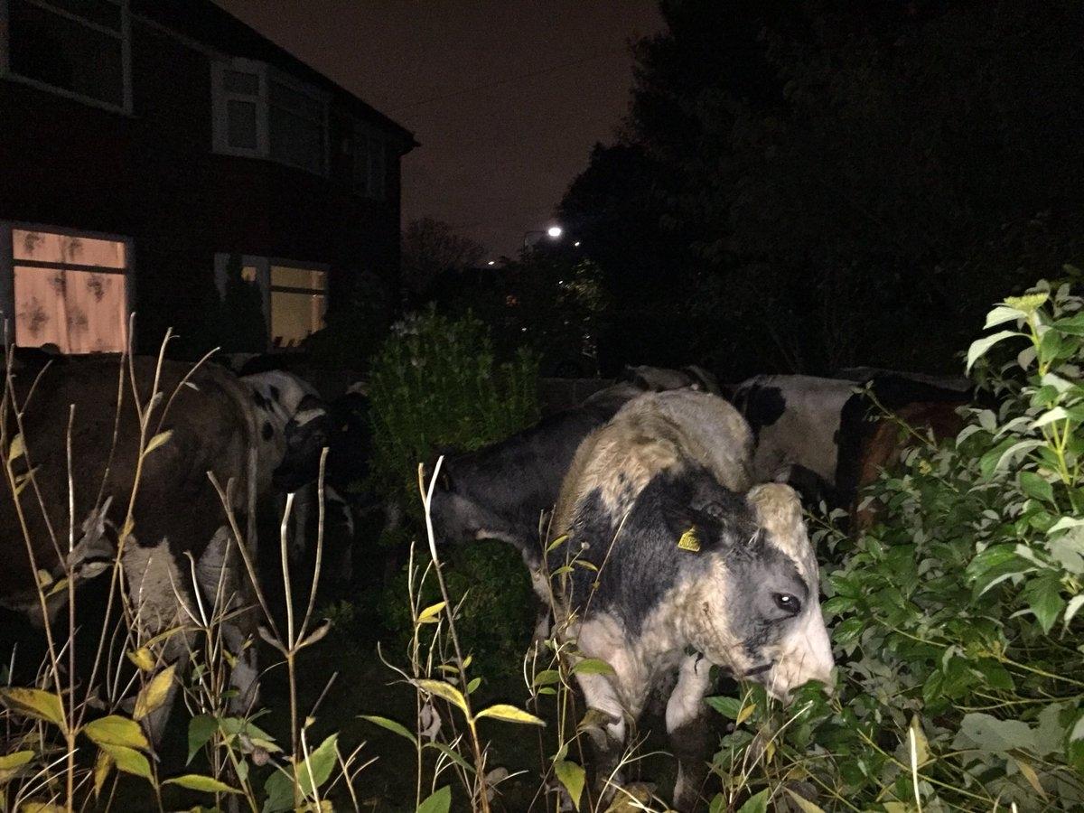Cows in garden