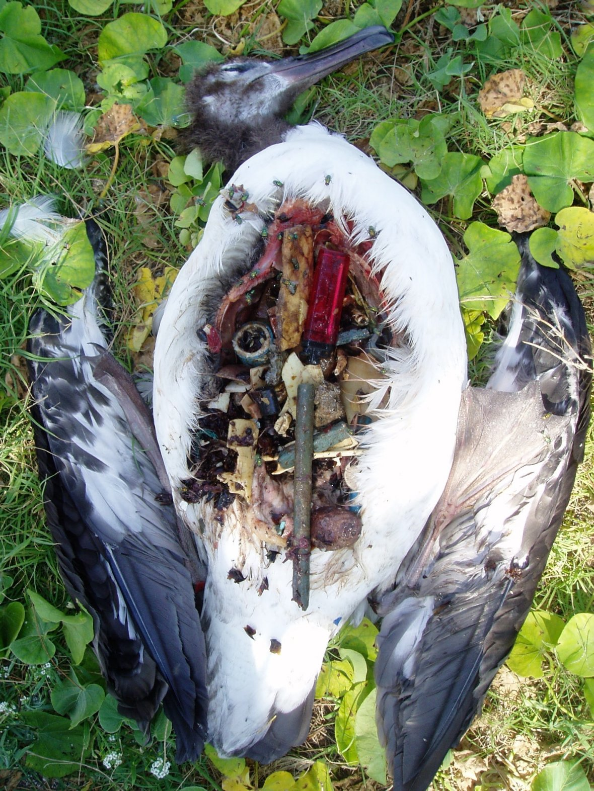 Albatross with plastic in stomach