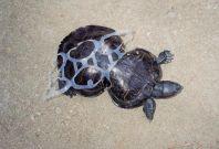 Turtle ocean plastic