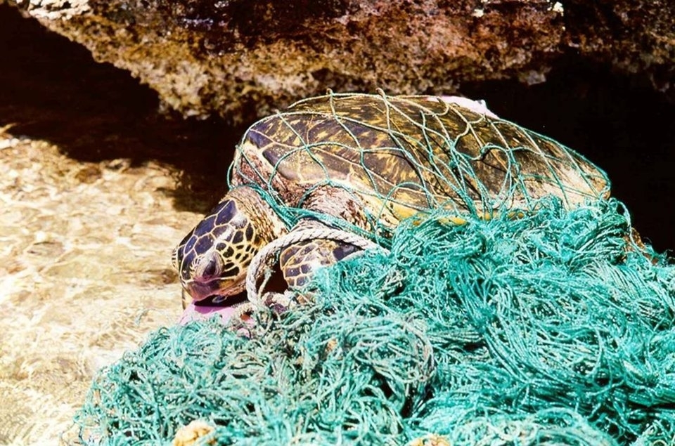 Turtle trapped in plastic
