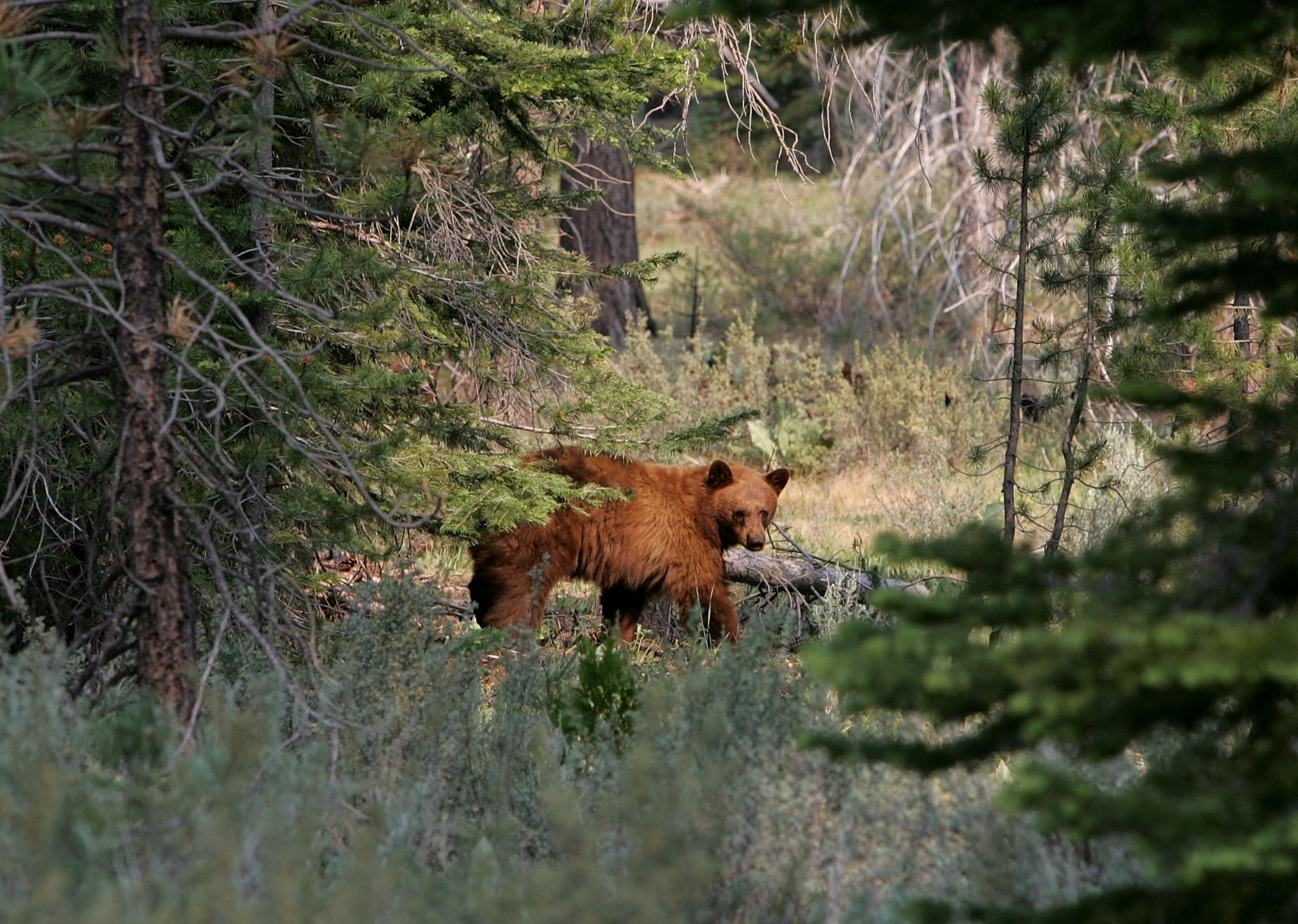 A bear near Lake Tahoe