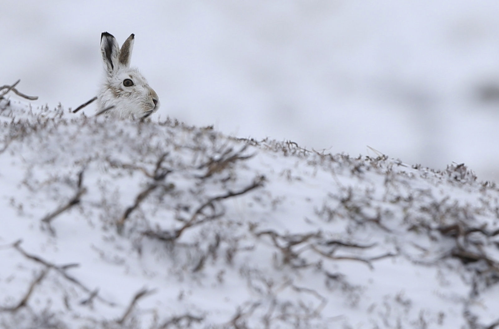 A hare surveys the view in Scotland's CairnGorm Mountain, where the first snow of the year hit Britain landed overnight