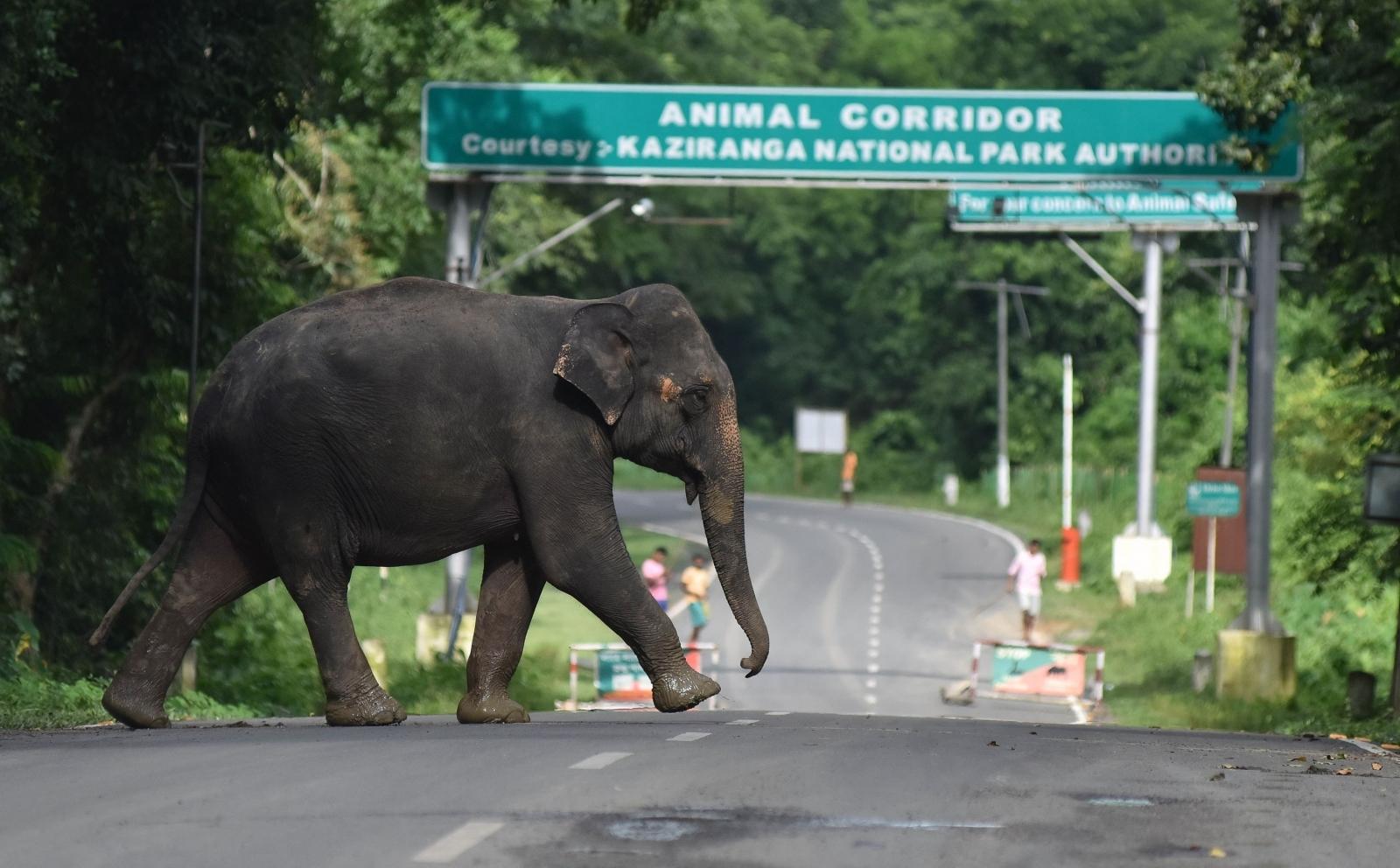 Asian elephant india