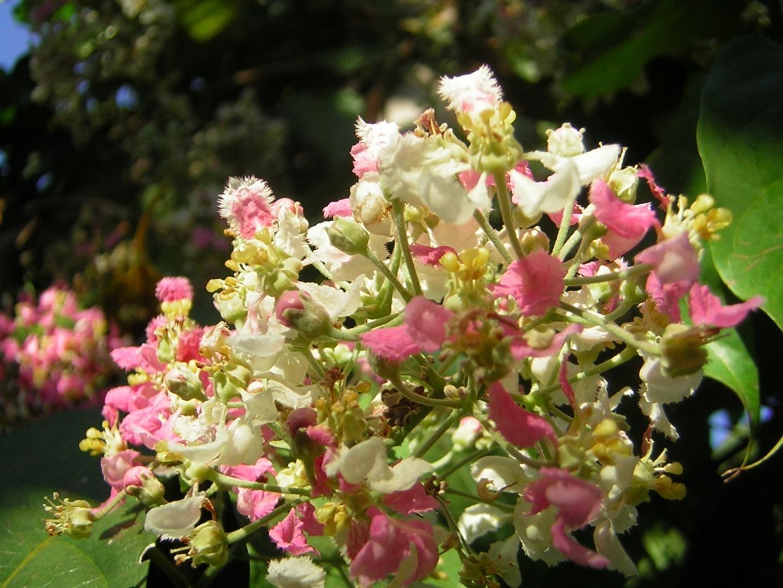 Psychotria Viridis plant