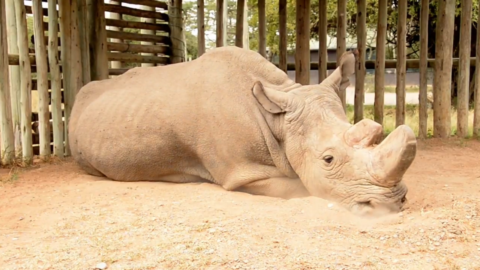 heartbreaking-video-shows-the-last-male-northern-white-rhino-this-is-what-extinction-looks-like