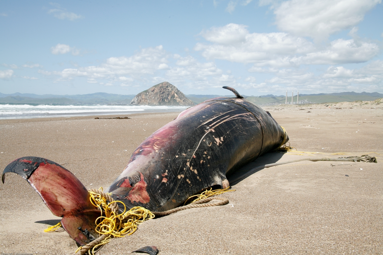 Beached minke whale