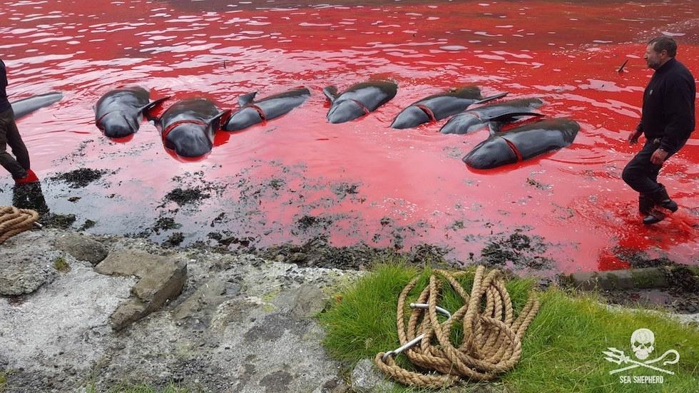 Dolphins killed in Faroe Islands