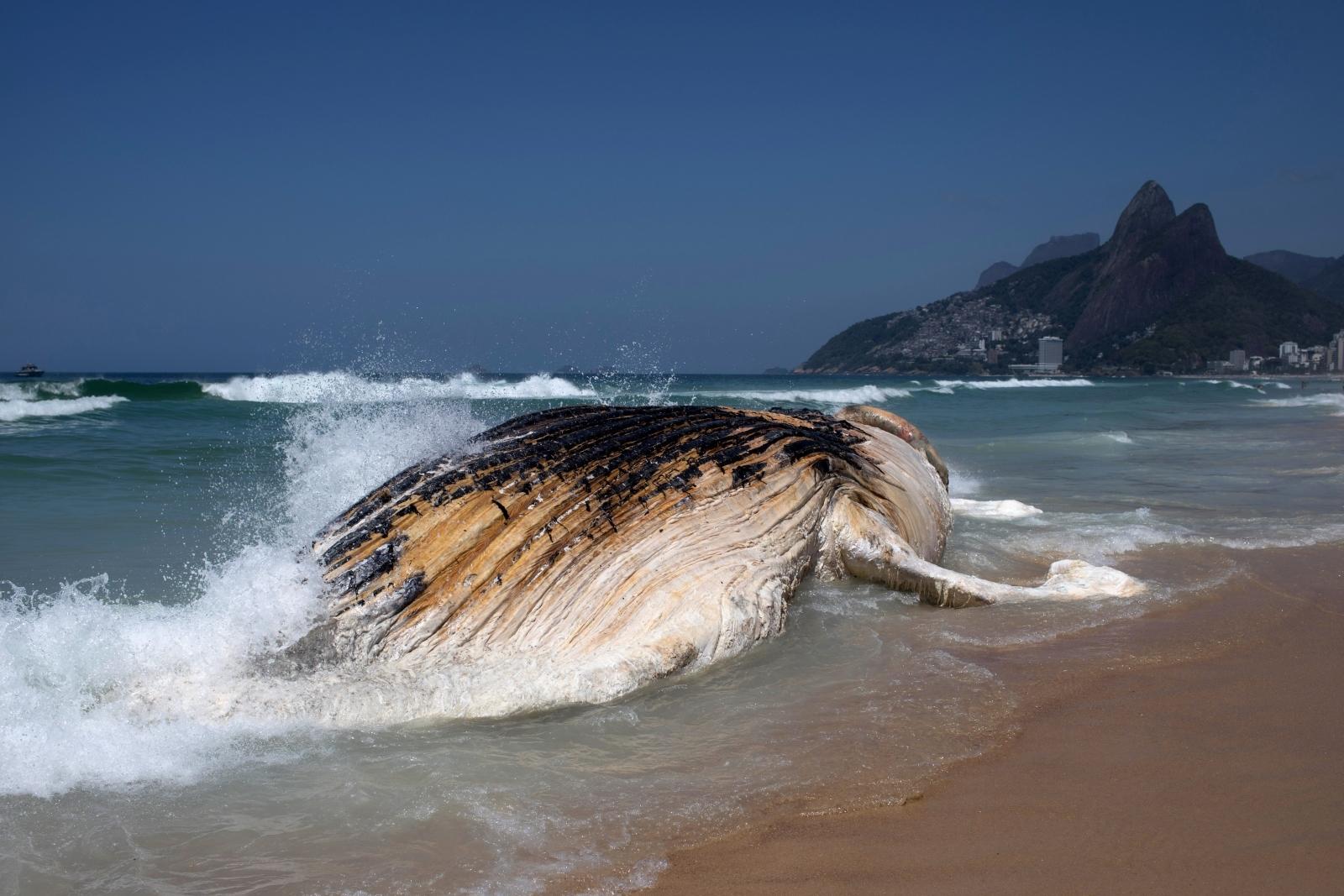 30-ton humpback whale