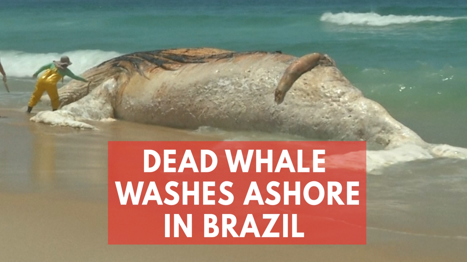 Carcass of giant whale washes up on iconic beach in Brazil's Rio de Janeiro