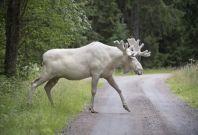 rare albino elk