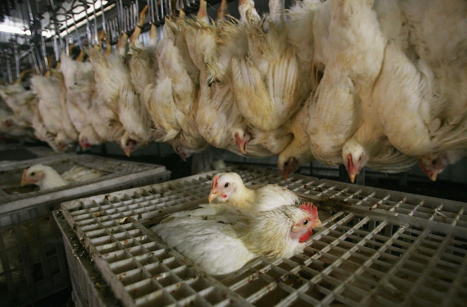 Chicken abattoir