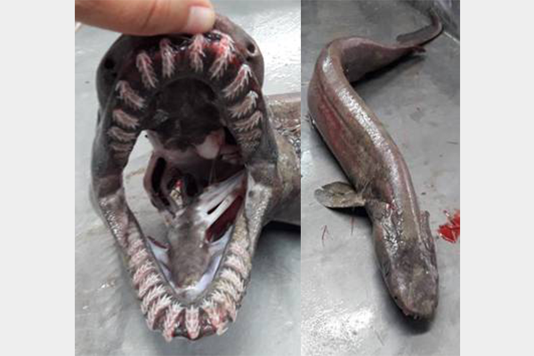 Terrifying prehistoric 'snake shark' caught for first time