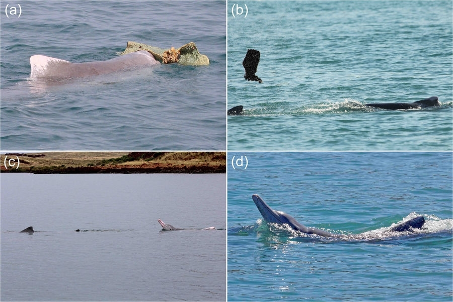 Watch male dolphins woo females with 'gifts' and a little ...  Watch male dolp...
