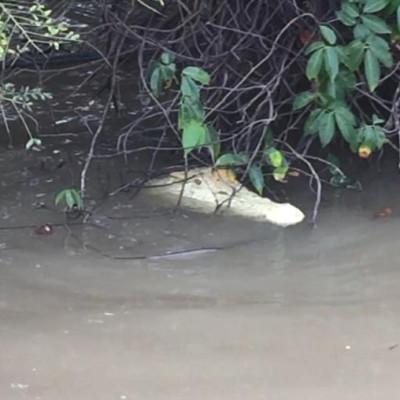 Pearl rare white crocodile