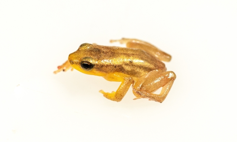Golden rocket frog