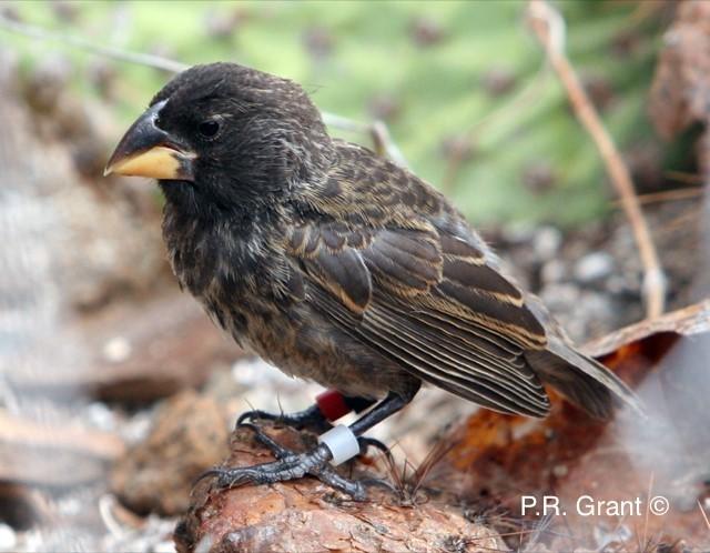 Big Bird finch