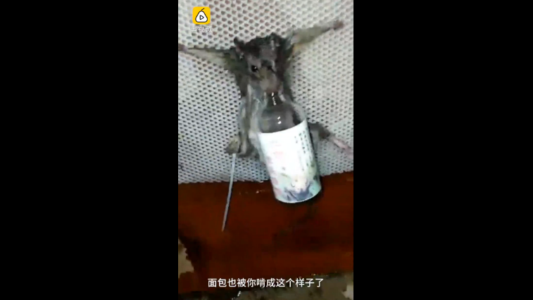 Rat tied up to a plastic mesh board