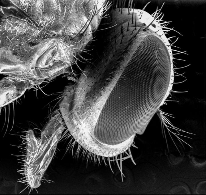 Fly bacteria
