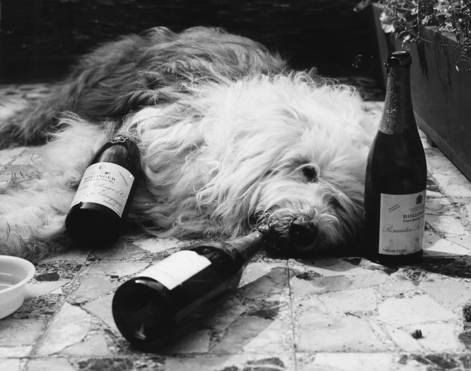 Dog lying next to bottles of champagne