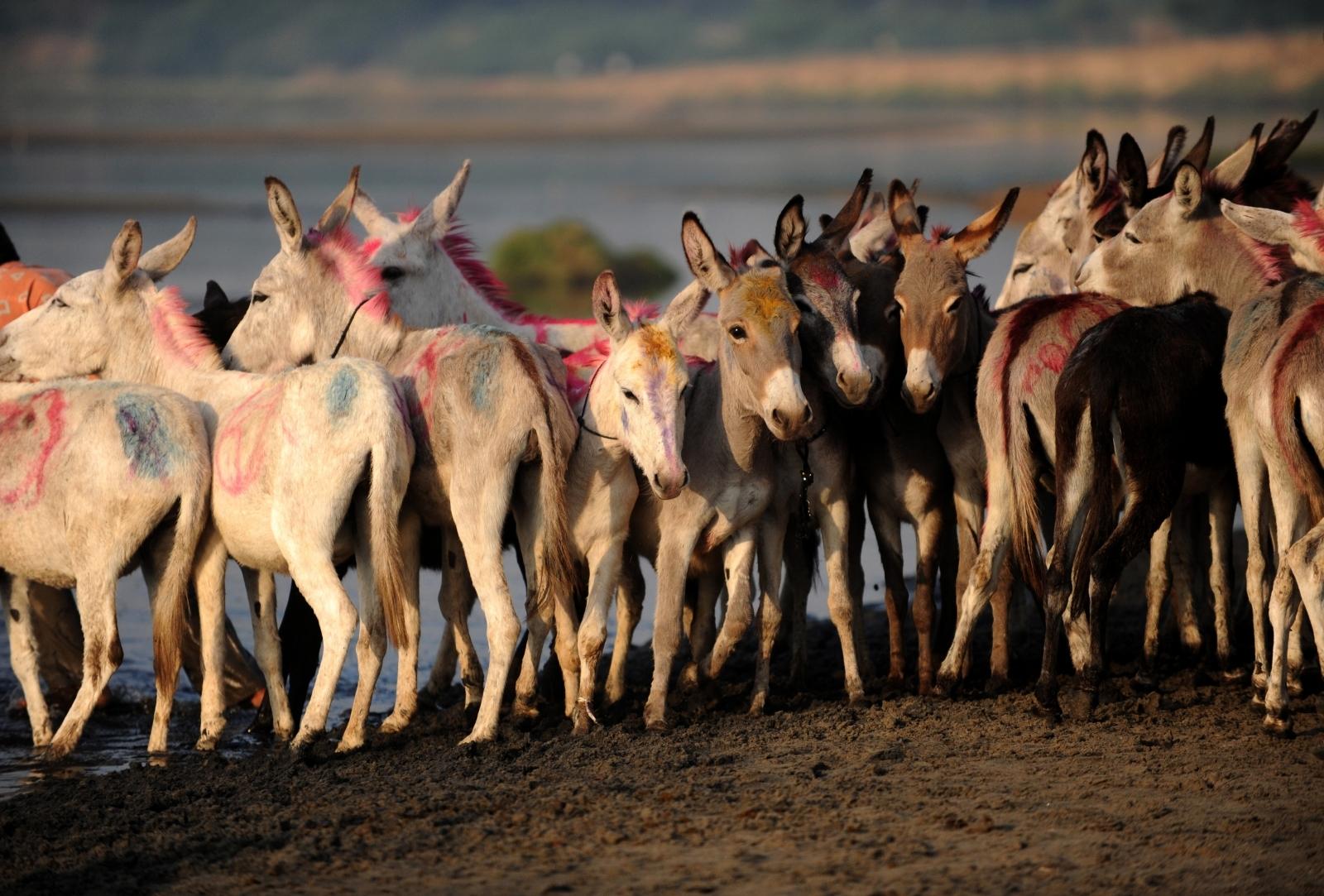Indian donkeys