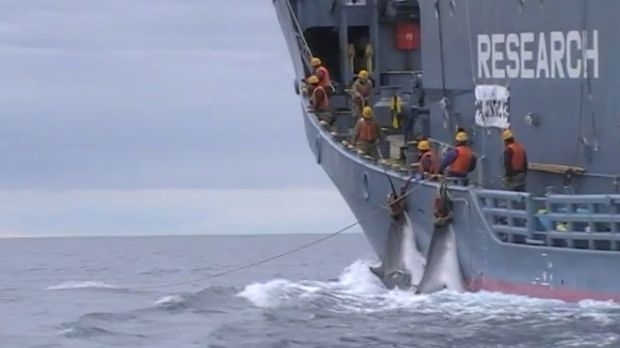 The shocking Japanese whaling footage the Australian government wanted to hide