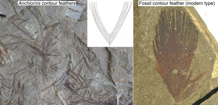 Fossil Feather Comparison