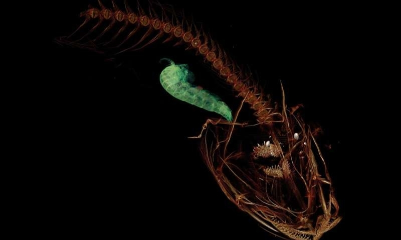CT scan of the Mariana snailfish