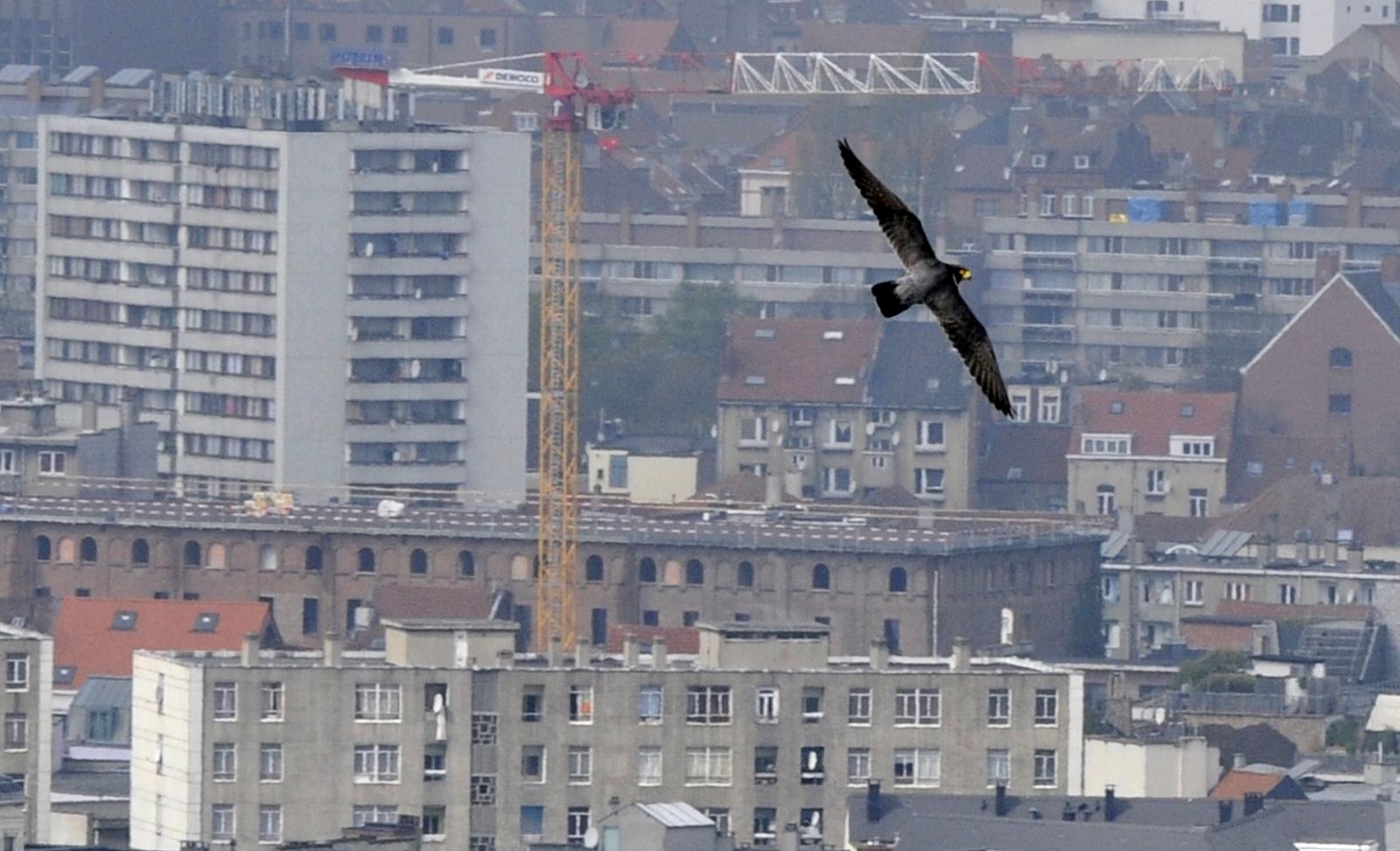 Falcon drones