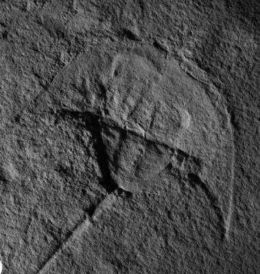 Horseshoe crab Darth Vader fossil