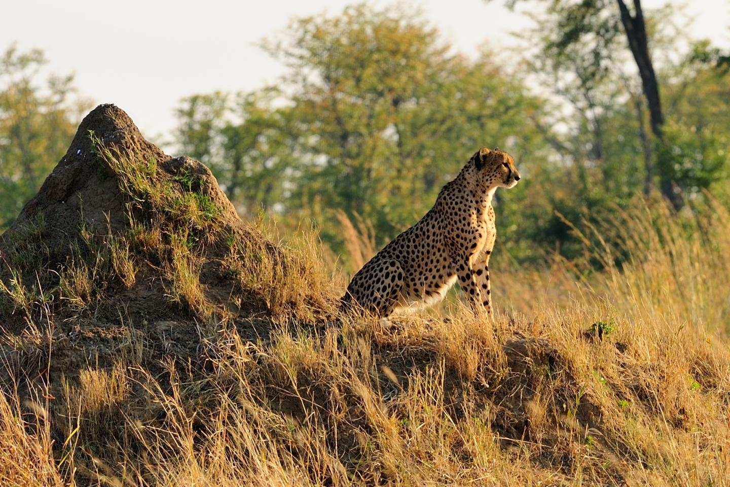 "a study of protection of cheetahs 2017-1-19  an indefinite future for cheetahs the study's investigators  stronger protection  0 comments on ""wild cheetahs are dangerously close to extinction."