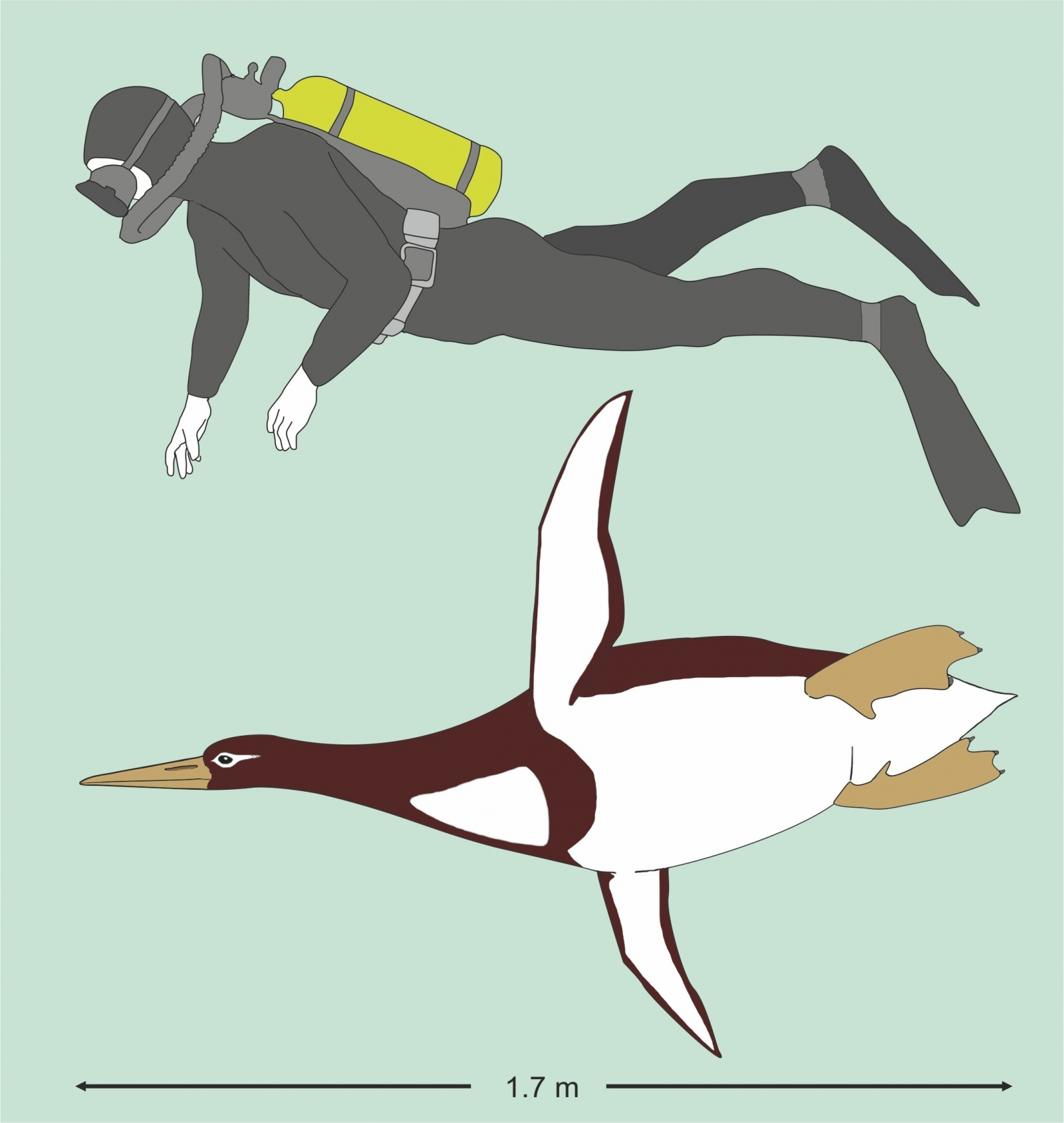 Human-sizeed ancient penguin fossils found in New Zealand