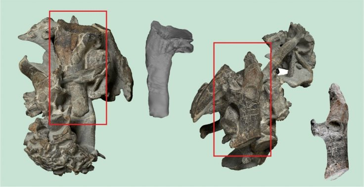 Ancient giant penguin bones