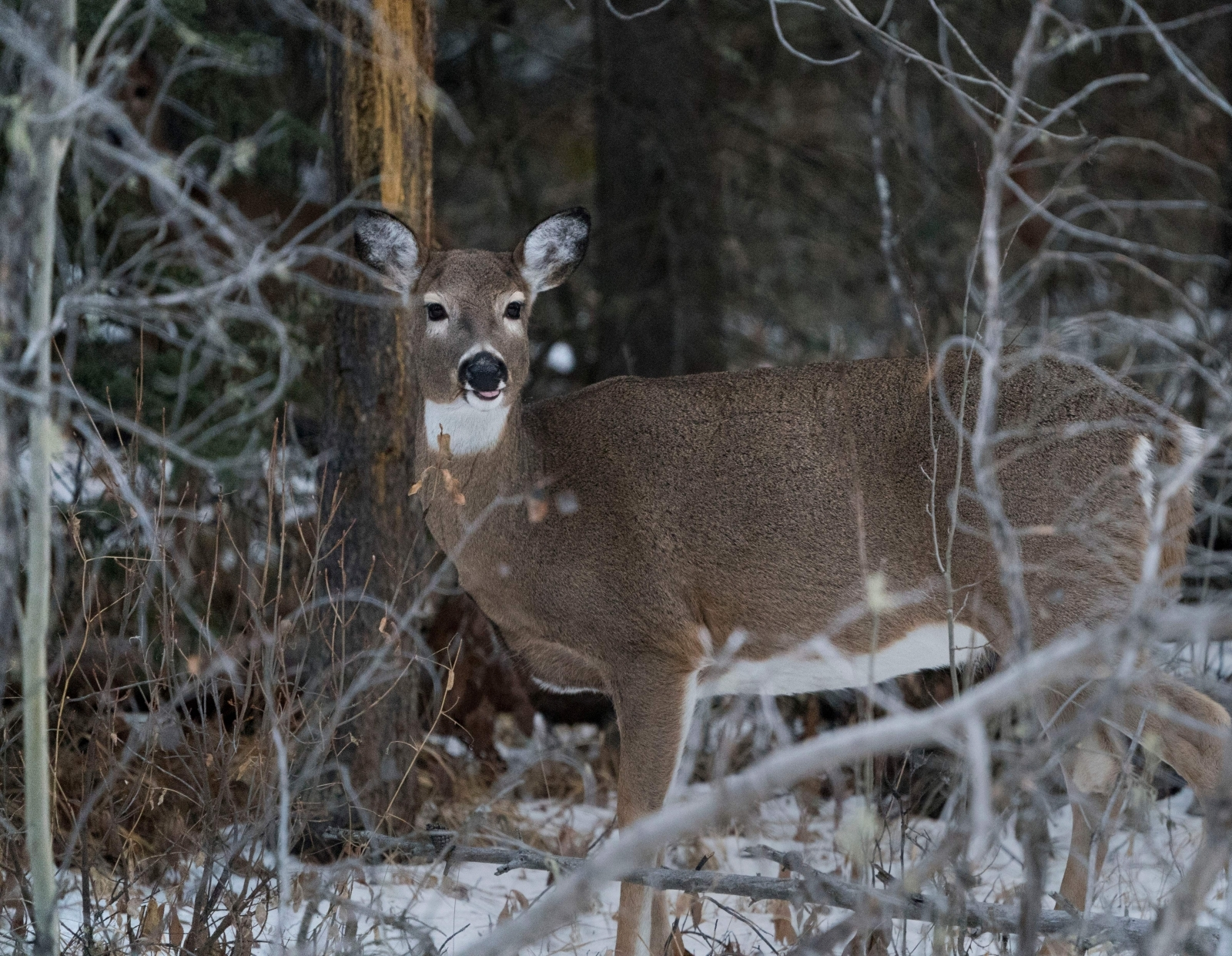 Deer suicide