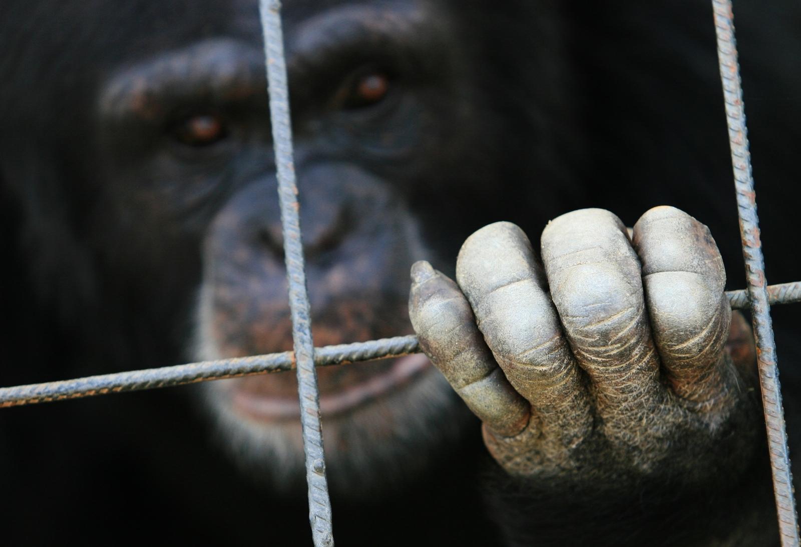 India chimpanzee birthday