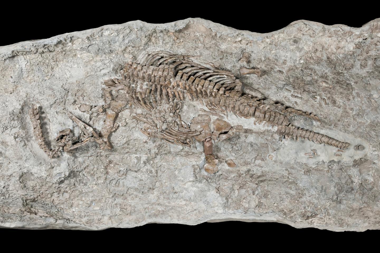 rhaeticosaurus mertensi skeleton of sea monster