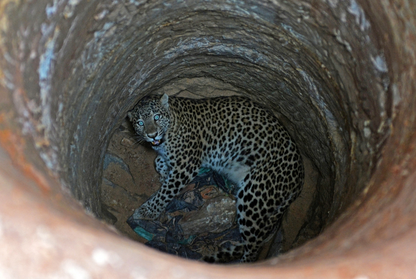 India Leopard