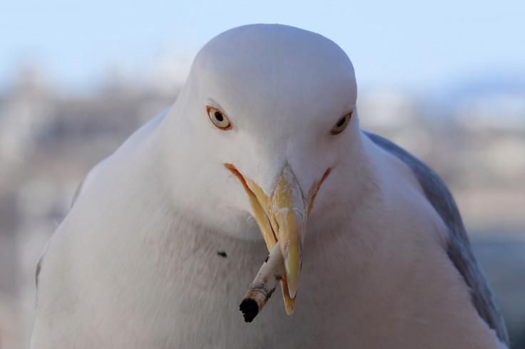 Seagulls litter Mullion Island with elastic bands